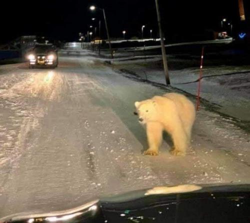 Dallas Polar Bear